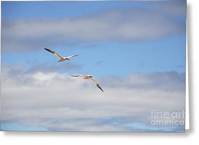 Northern Gannet Greeting Cards - Gannets In Flight Greeting Card by Ted Kinsman