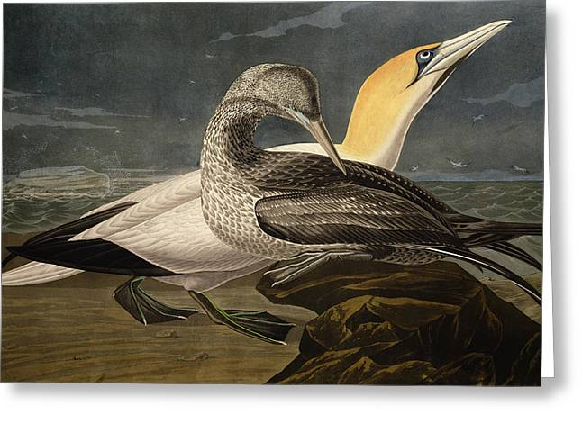Sea Shore Greeting Cards - Gannets Greeting Card by John James Audubon