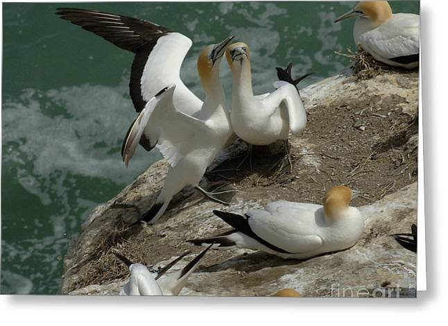 Gannet Greeting Cards - Gannets New Zealand 1 Greeting Card by Bob Christopher