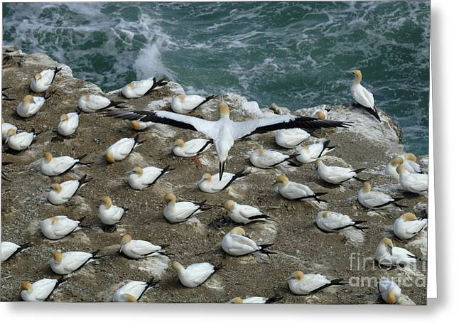 Gannet Greeting Cards - Gannets New Zealand 2 Greeting Card by Bob Christopher