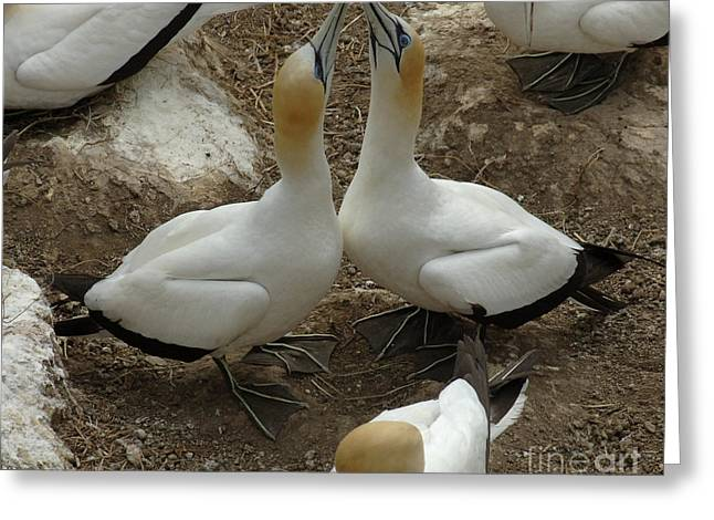 Gannet Greeting Cards - Gannets New Zealand 5 Greeting Card by Bob Christopher