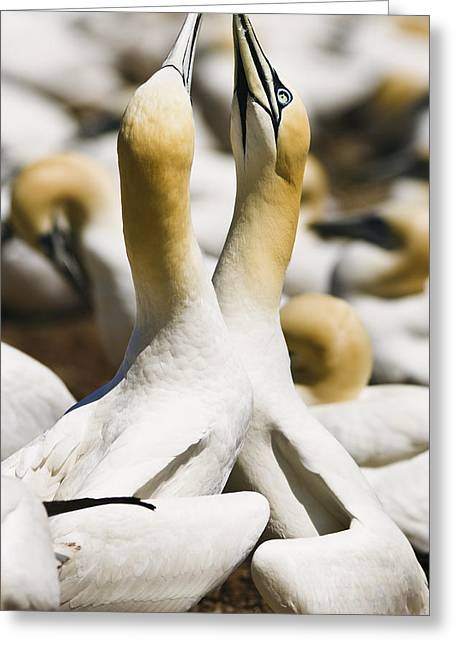 Love The Animal Greeting Cards - Gannets, Parc National De Greeting Card by Yves Marcoux