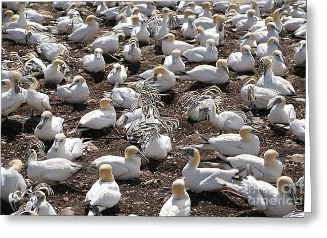 Morus Bassanus Greeting Cards - Gannets Showing Fencing Behavior Greeting Card by Ted Kinsman