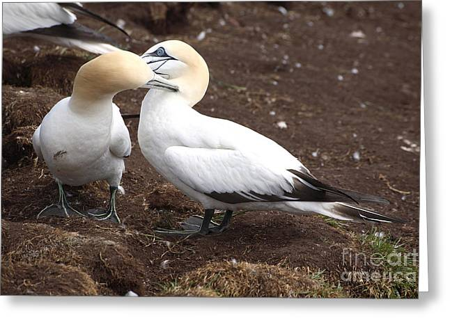 Northern Gannet Greeting Cards - Gannets Showing Mutual Preening Behavior Greeting Card by Ted Kinsman