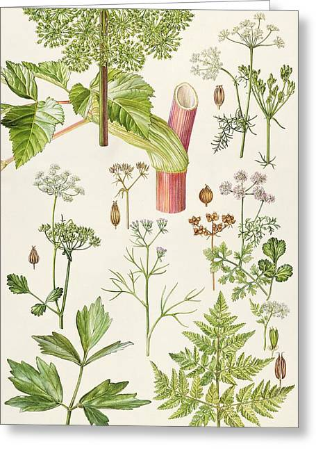 Aniseed Greeting Cards - Garden Angelica and other plants  Greeting Card by Elizabeth Rice