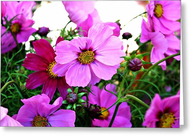 Oregon Flowers Greeting Cards - Garden Cosmos Greeting Card by Cathie Tyler