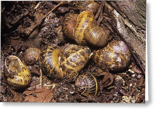 Helix Greeting Cards - Garden Snails Hibernating Greeting Card by Sheila Terry