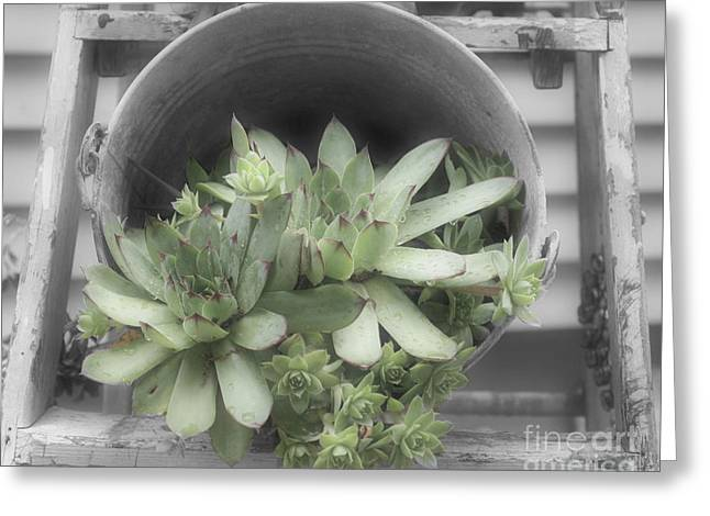 Hens And Chicks Photography Greeting Cards - Garden Succulents Partial Color Greeting Card by Smilin Eyes  Treasures