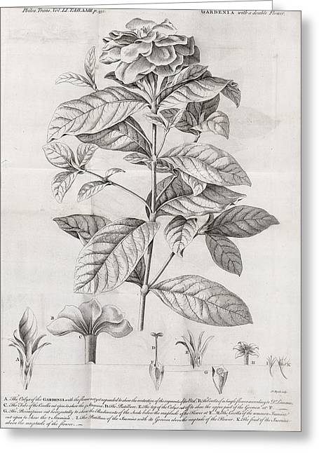 Caption Greeting Cards - Gardenia Plant, 18th Century Greeting Card by Middle Temple Library