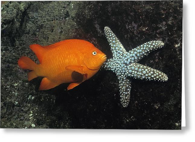 Pomacentridae Greeting Cards - Garibaldi And Starfish Sea Of Cortez Greeting Card by Flip Nicklin