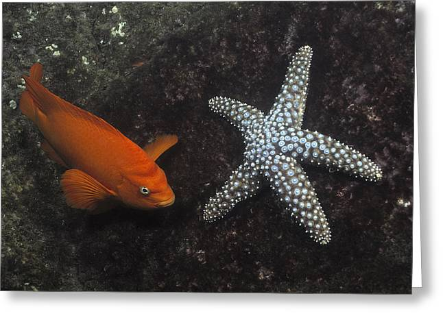Garibaldi With Starfish Underwater Greeting Card by Flip Nicklin
