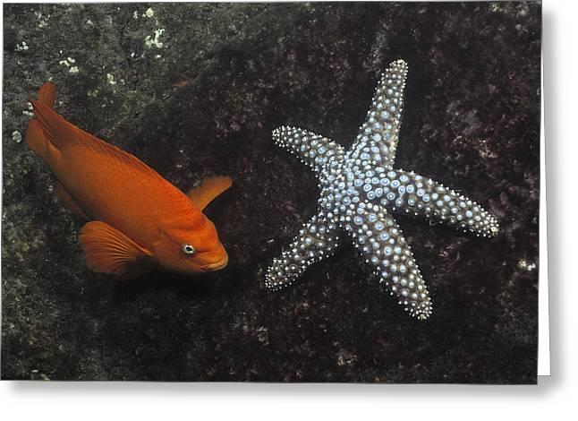 Pomacentridae Greeting Cards - Garibaldi With Starfish Underwater Greeting Card by Flip Nicklin