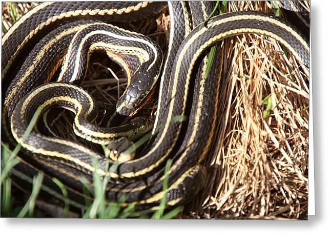 Wildlife Refuge. Digital Art Greeting Cards - Garter Snakes mating Greeting Card by Mark Duffy