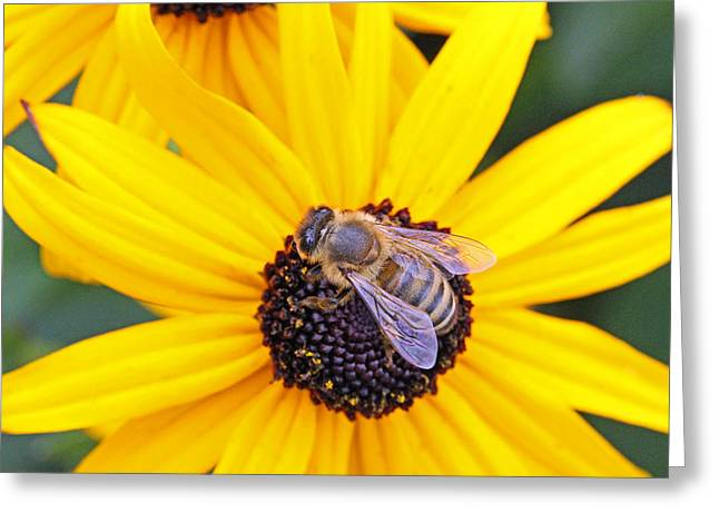 Becky Greeting Cards - Gathering pollen on a sunny day Greeting Card by Becky Lodes