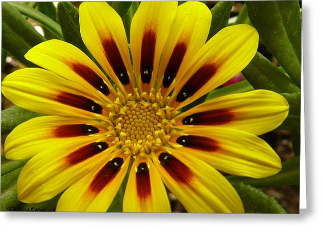 Luis Oscar Sanchez Greeting Cards - Gazania Greeting Card by Luis oscar Sanchez