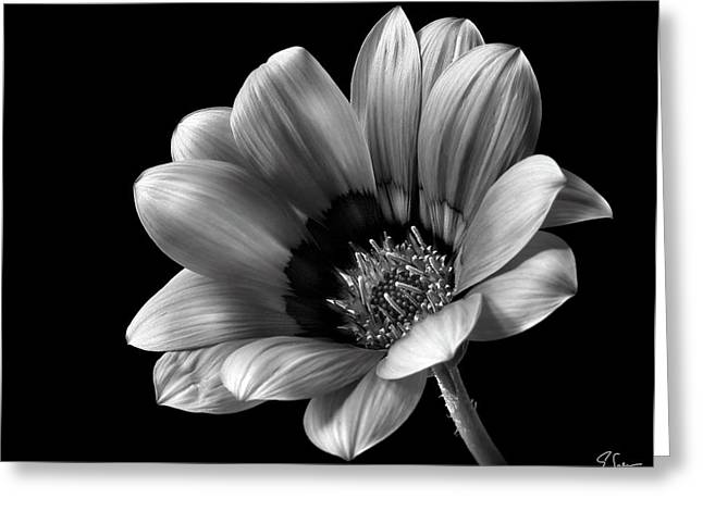 Flower Photos Greeting Cards - Gazinia in Black and White Greeting Card by Endre Balogh