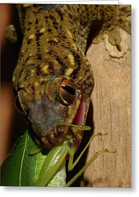 Katydid Greeting Cards - Gecko Feed Greeting Card by Bruce J Robinson