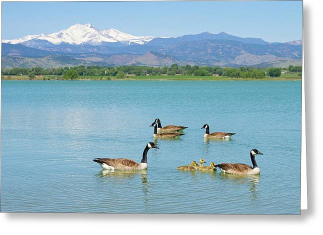 Candian Greeting Cards - Geese Goslings and The Twin Peaks - Longs and Meeker Greeting Card by James BO  Insogna