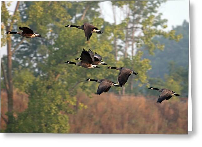 Jim Nelson Greeting Cards - Geese Greeting Card by Jim Nelson