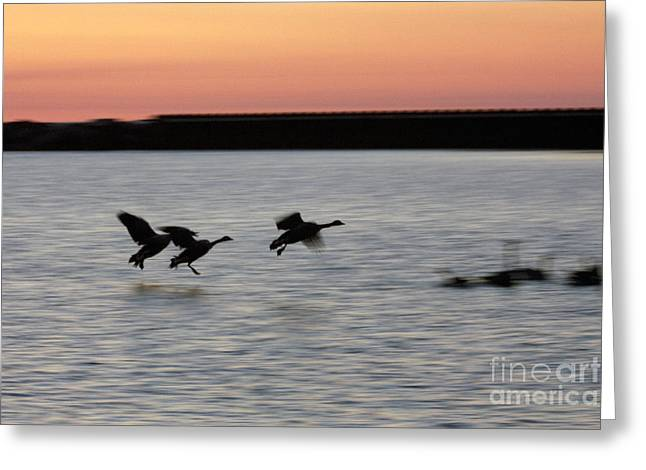 Hovering Greeting Cards - Geese landing in water Greeting Card by Christopher Purcell