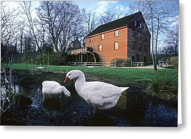 Rural Ways Of Life Greeting Cards - Geese Wading In Front Of Colvin Run Greeting Card by Annie Griffiths