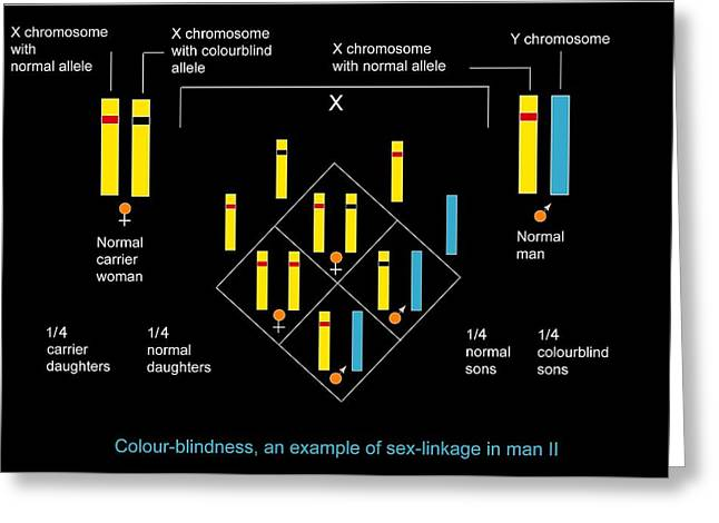 Disability Greeting Cards - Genetics Of Colour Blindness, Diagram Greeting Card by Francis Leroy, Biocosmos