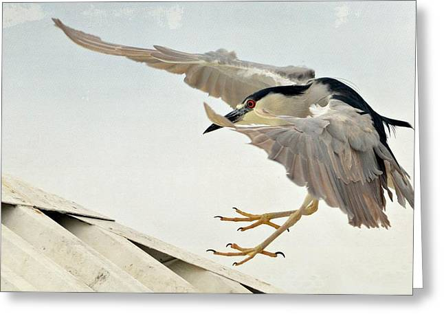 Crowned Heron Greeting Cards - Gentle Landing Greeting Card by Fraida Gutovich