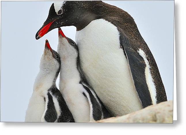Gentoo Feeding Time Greeting Card by Tony Beck