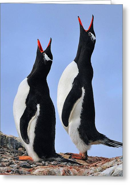 Tuxedo Greeting Cards - Gentoo Love Song Greeting Card by Tony Beck