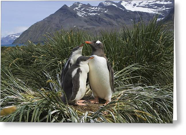 Three Chicks Greeting Cards - Gentoo Penguin and Young Chicks Greeting Card by Suzi Eszterhas