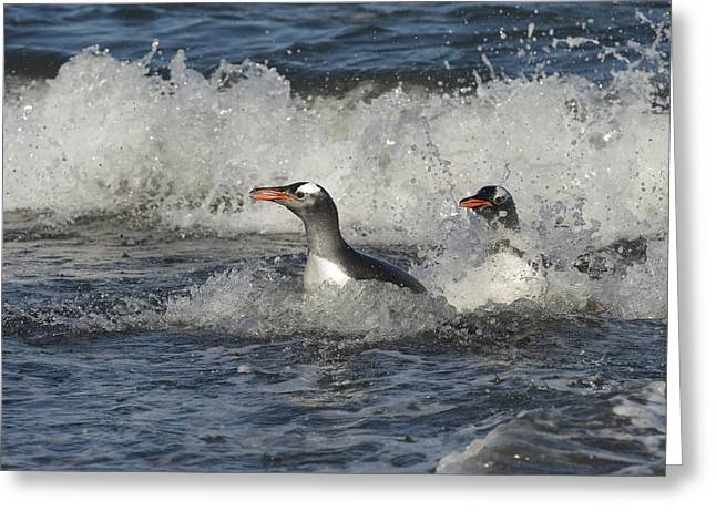 Up And Coming Greeting Cards - Gentoo Penguin Pair Coming Ashore South Greeting Card by Flip Nicklin