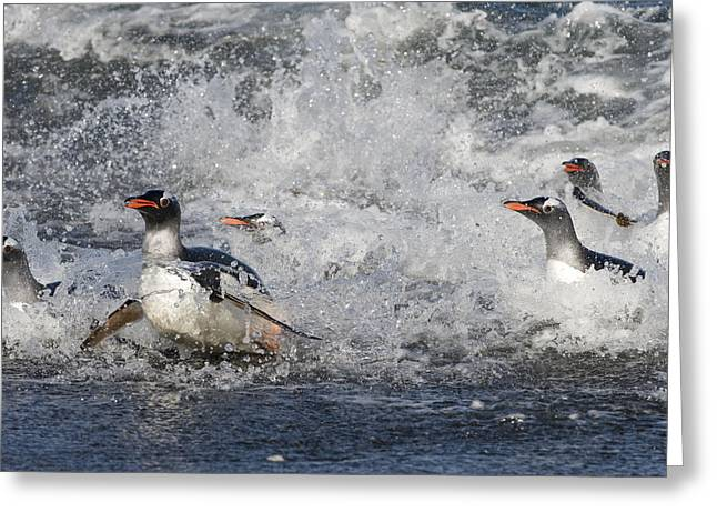 Up And Coming Greeting Cards - Gentoo Penguins Coming Ashore South Greeting Card by Flip Nicklin