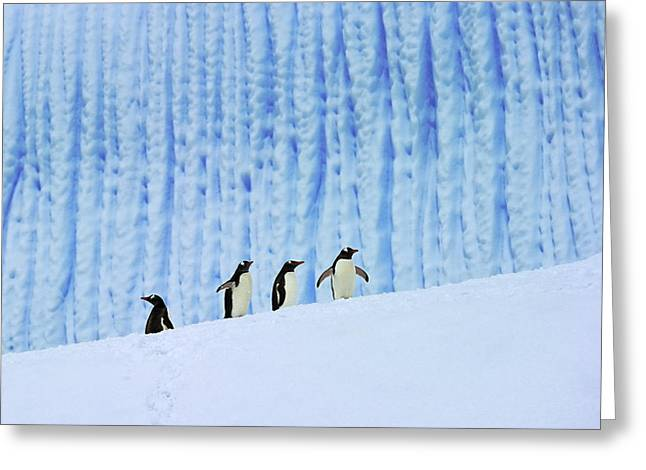 Tuxedo Greeting Cards - Gentoos on Ice Greeting Card by Tony Beck