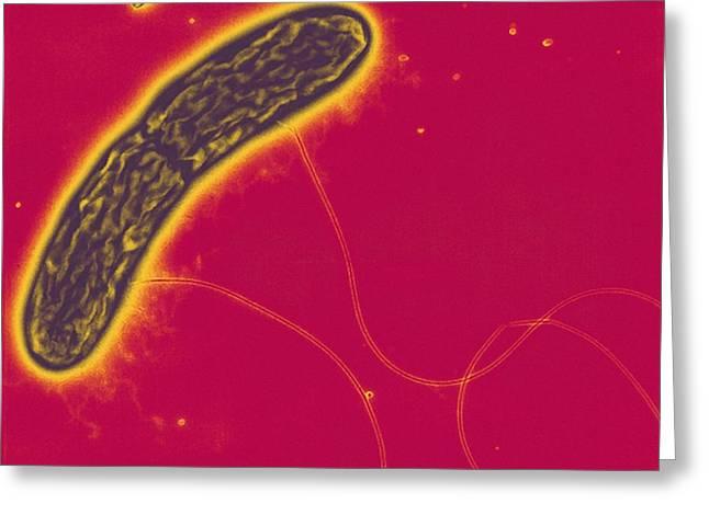 Microbial Greeting Cards - Geobacter Metallireducens Bacteria, Tem Greeting Card by Derek Lovley