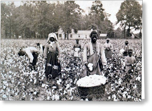 Georgia Cotton Field - c 1898 Greeting Card by International  Images