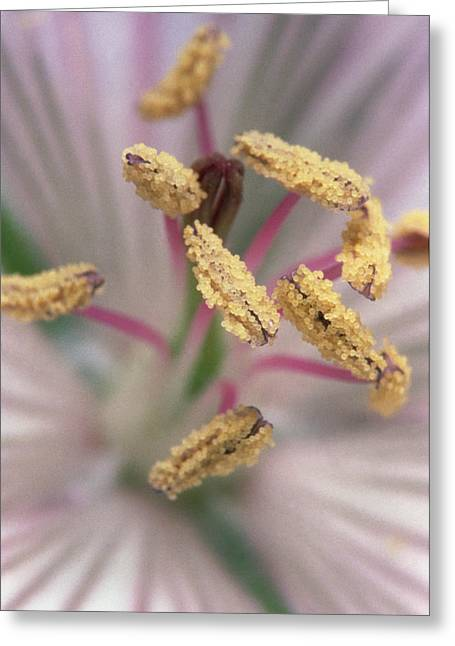 Stamen Greeting Cards - Geranium Flower Greeting Card by Dr Jeremy Burgess