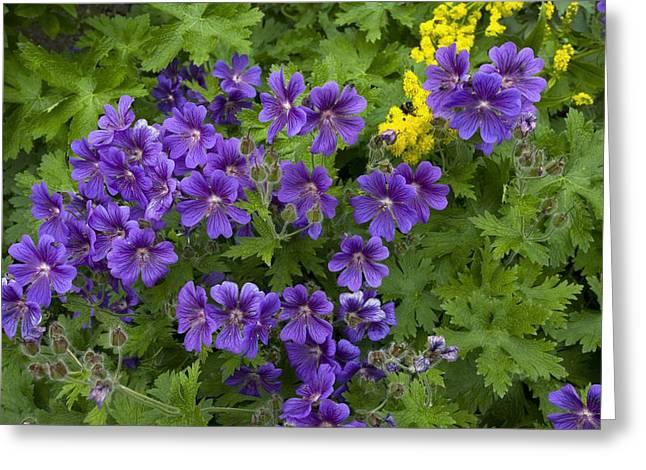Purple Geranium Greeting Cards - Geranium Flowers Greeting Card by Bob Gibbons