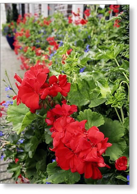 Red Geraniums Greeting Cards - Geranium Flowers (pelargonium Sp.) Greeting Card by Chris Martin-bahr