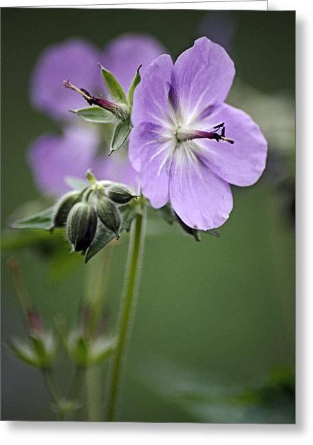 Purple Geranium Greeting Cards - Geranium (geranium Eriostemon) Greeting Card by Dr. Nick Kurzenko