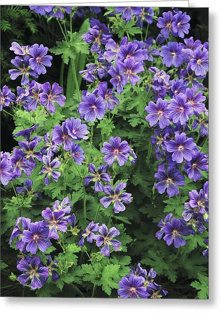 Geranium Flower Close Up Greeting Cards - Geranium Magnificum In Flower Greeting Card by Colin Varndell
