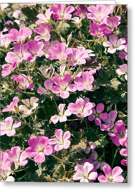 Geranium Flower Close Up Greeting Cards - Geranium orkney Cherry Greeting Card by Adrian Thomas