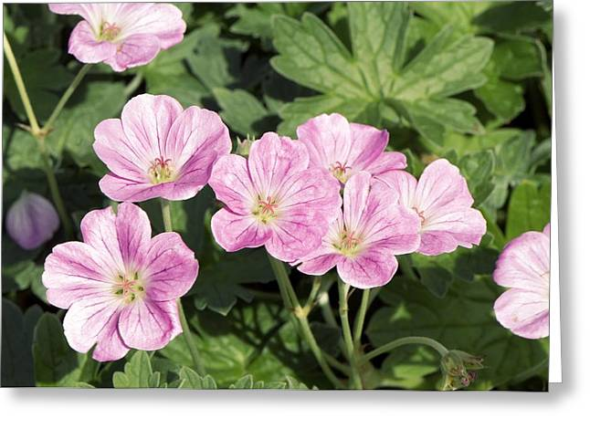 Geranium Flower Close Up Greeting Cards - Geranium Riversleaianum mavis Simpson Greeting Card by Adrian Thomas
