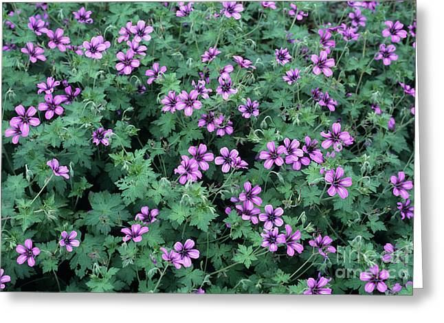 Sue Greeting Cards - Geranium sue Crug Flowers Greeting Card by Adrian Thomas