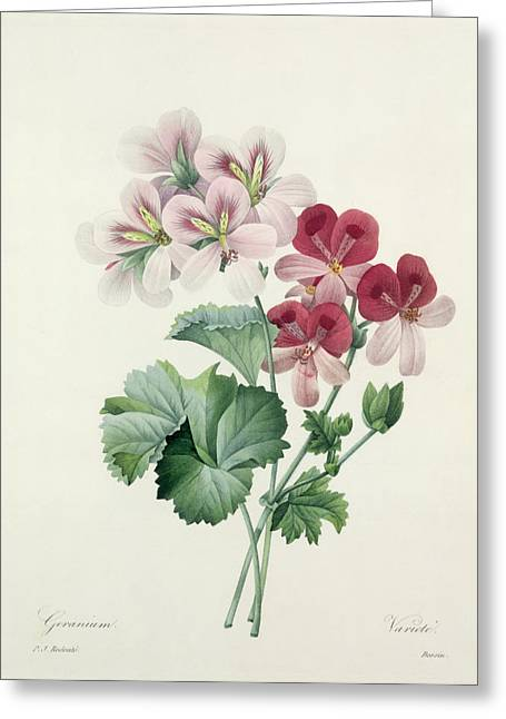 Flowered Greeting Cards - Geranium Variety Greeting Card by Pierre Joseph Redoute