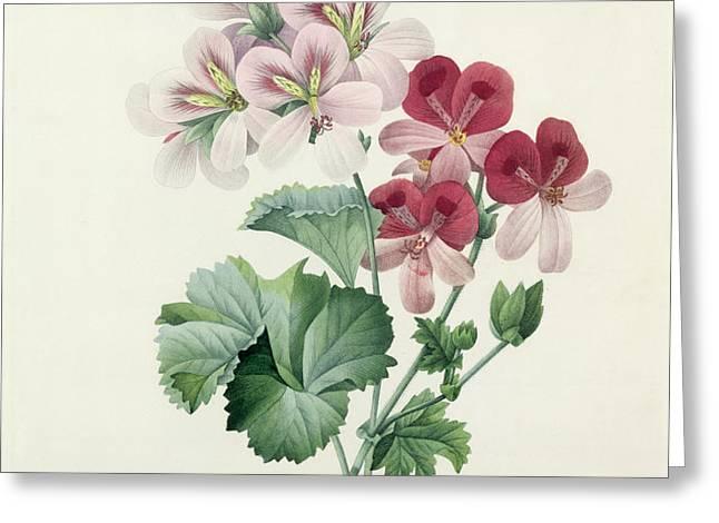 Geranium Variety Greeting Card by Pierre Joseph Redoute