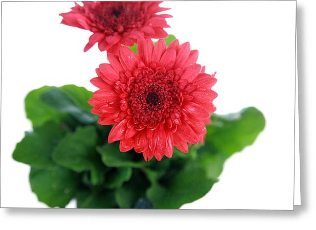 Plant Framed Prints Greeting Cards - Gerber Daisy Greeting Card by Michael Ledray