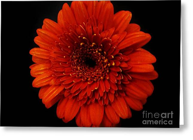 Large Poster Greeting Cards - Gerber Glow Greeting Card by Marsha Heiken