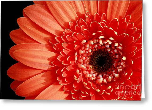 Gerber Perfection Greeting Card by Inspired Nature Photography Fine Art Photography