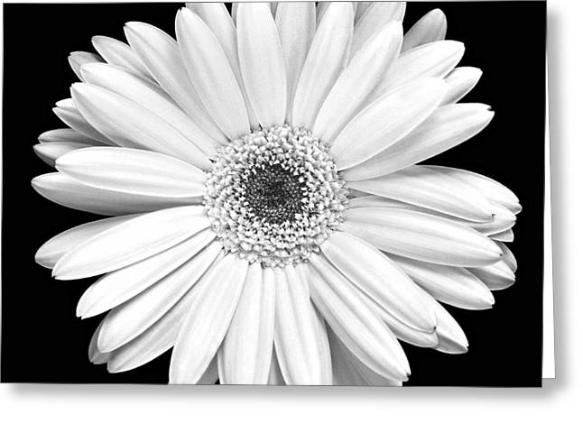 White Florals Greeting Cards - Gerbera Daisy Greeting Card by Marilyn Hunt