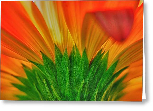 Gerber Greeting Cards - Gerbera explosion Greeting Card by Stylianos Kleanthous